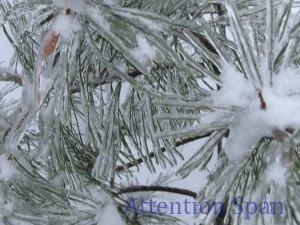 Ice encrusted needles of pine tree boughs